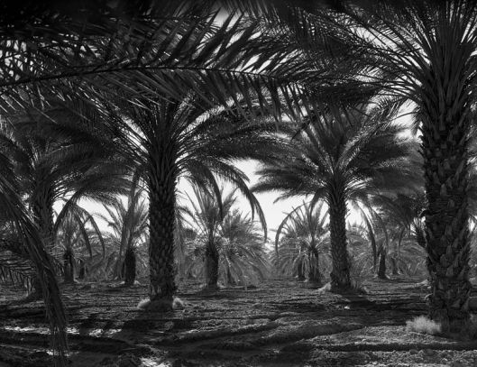 Date palms. Coachella Valley, California by Dorothea Lange 1937 LoC {{PD}}