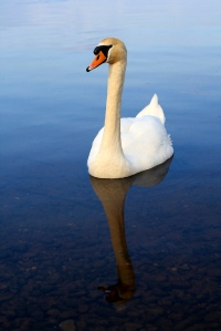 Swan in Lake Killaloe, Ireland, by Alfredo Encallado Creative Commons Attribution 2.0 Generic