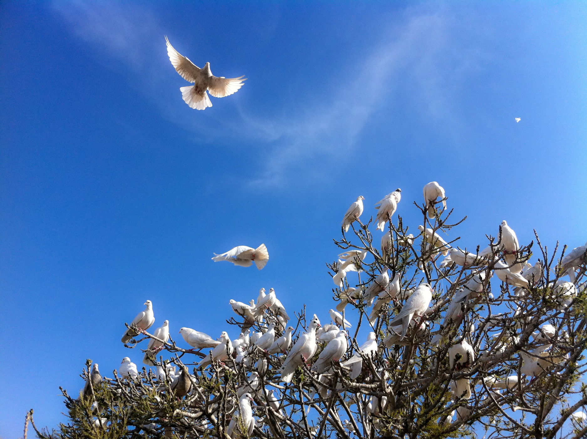 'White Doves at the Blue Mosque' by Peretz Partensky from San Francisco, USA  Creative Commons Attribution-Share Alike 2.0 Generic