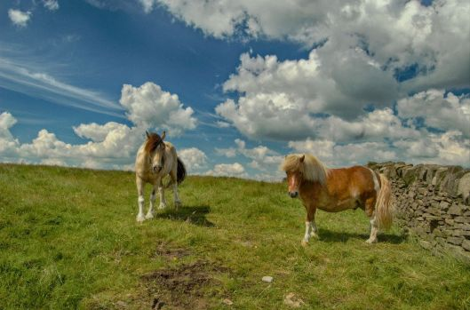 Two ponies on Winter Hill, Bolton, UK 2013 Photo by OZMON CC BY-SA 3.0