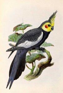 Nymphicus_hollandicus_1876