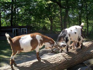 'Tierpark Ostrittrum - Kampfbalken' Photo by Marius Kallhardt from near Bremen, Germany  Creative Commons Attribution-Share Alike 2.0 Generic