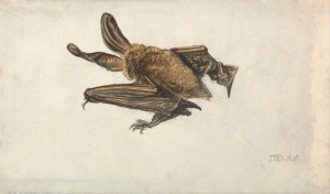 James Ward - 'A Bat' undated {{PD}}