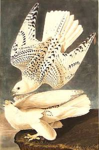 Icelandic Gyrfalcons by James Audubon 1838 {{PD}}