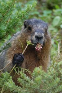 Groundhog (Marmota monax), near Peyto Lake (Alberta) Photo by Reinhard Kraasch     CC BY-SA 3.0