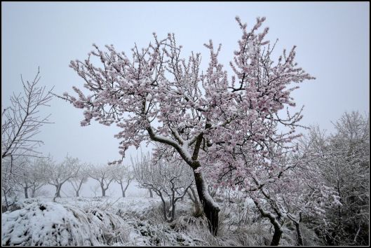 An almond tree, blooming beneath a covering of snow. Photo By Àngela Llop - Own work, CC BY-SA 3.0, https://commons.wikimedia.org/w/index.php?curid=25355619